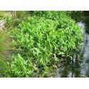 Sagitaria sagitifolia- Flèche d'eau