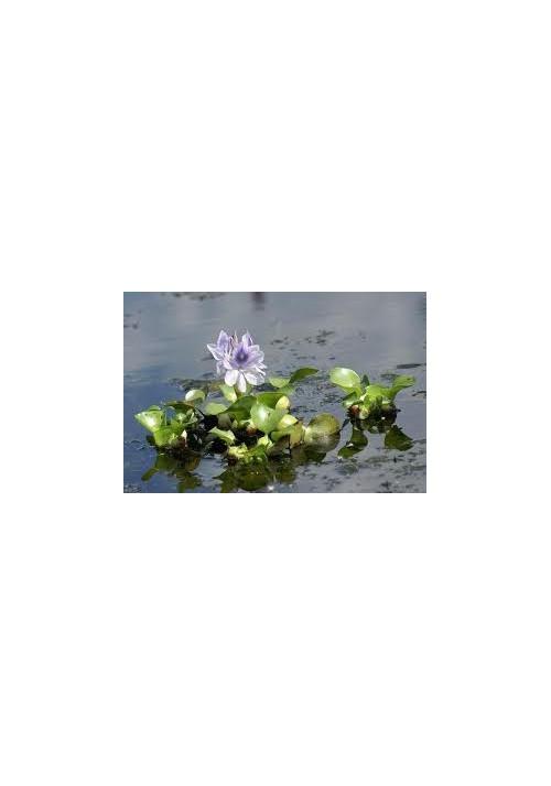 jacinthe d'eau