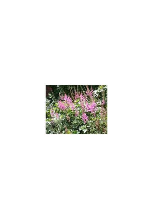 astilbe rose