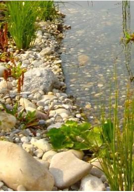 Plantes de berges, immergées de - 5cm à +10 cm.