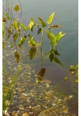 Plantes immergées de 0 à -30cm.