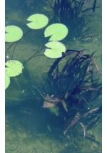 Plantes de zones profondes, immergées de - 30 à - 150cm