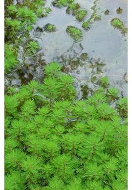 Plantes oxygénantes